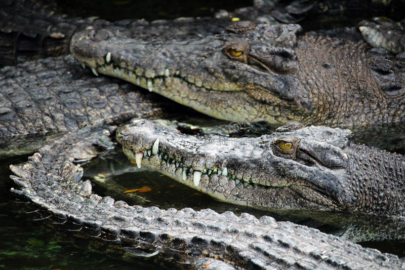 Many crocodiles. MIRI/MALAYSIA - 24 NOVEMBER 2015: Agglomeration of crocodiles in the water in Borneo next to the border between Malaysia and Brunei stock images
