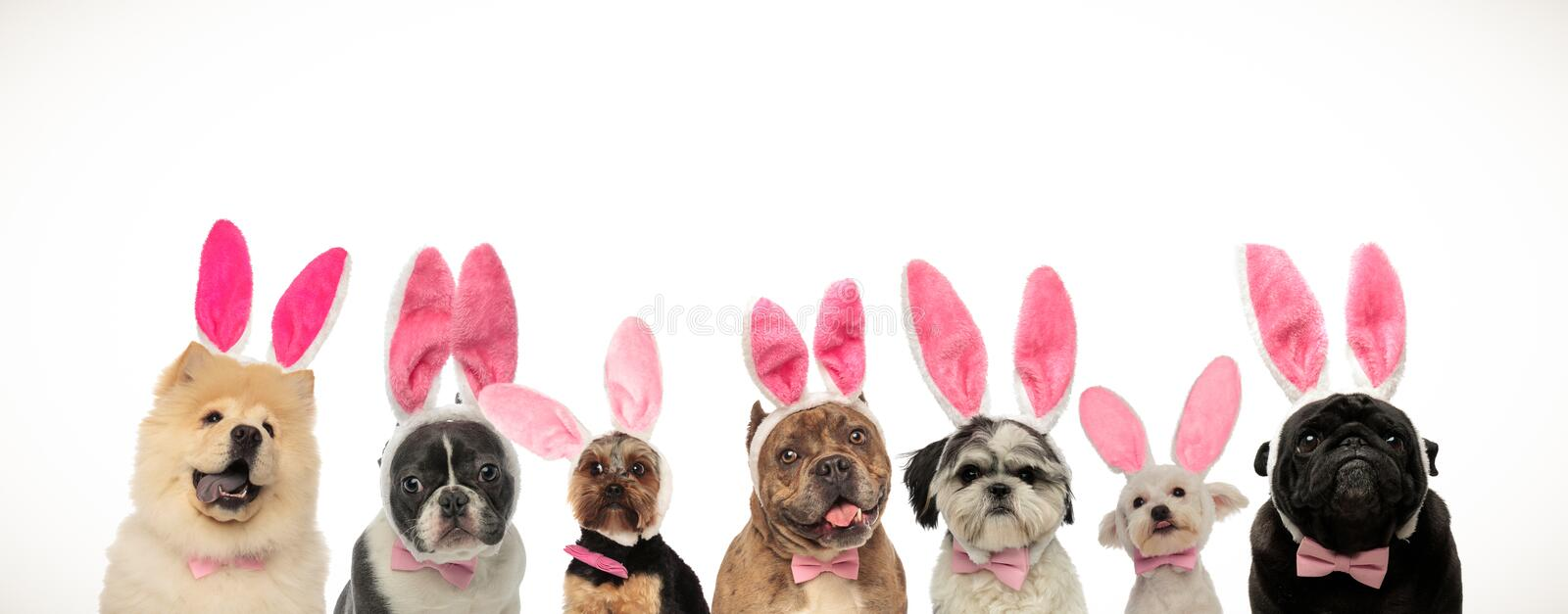 Many cute easter dogs wearing pink rabbit ears royalty free stock photo