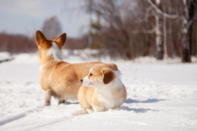 Many cute red breed welsh corgi pembroke puppy family walk outdoor, run, having fun in white snow park, winter forest. Concept stock photography