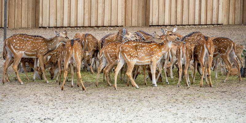 Many Cute spotted fallow deers eating together one looks into the camera.  stock photos