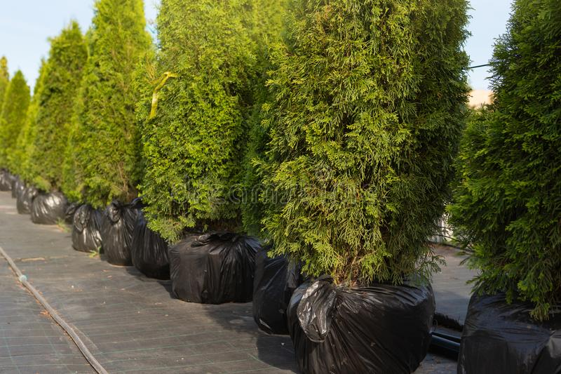Many cypress trees stand in a row in the nursery, prepared for sale, concept stock photos