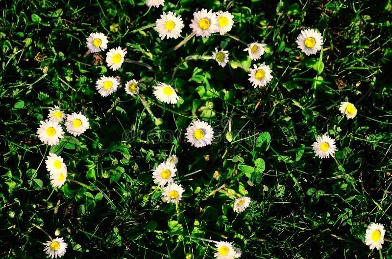 Many daisy in grass royalty free stock photo