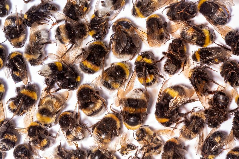 Many dead Bumblebee bodies on a white background. royalty free stock photo
