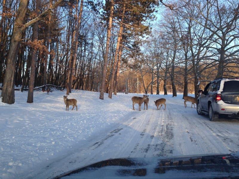 Many deer near suv 010 stock photos