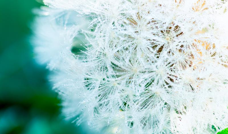 Many of dew drops on dandelion in the morning of spring season. Beautiful water drops on white flower. Macro shot detail of dew royalty free stock images
