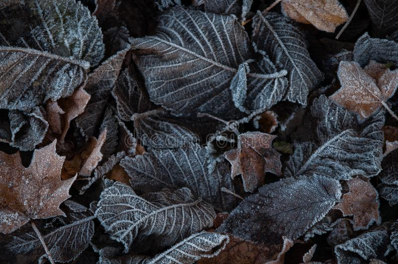 Autumn leaves with frost stock images