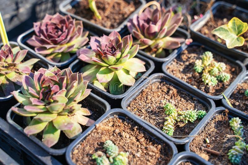 Many different cacti in flowerpots mix selling in flowers store, top view. Garden center with lot potted small cactus plants sale. On flower market. Various stock photos