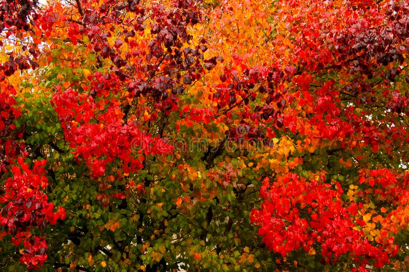 Many Different Colors of vibrant Fall Leaves on the same tree - background. Many Different Colors of vibrant Fall Leaves on the same tree - Autumn background stock photography