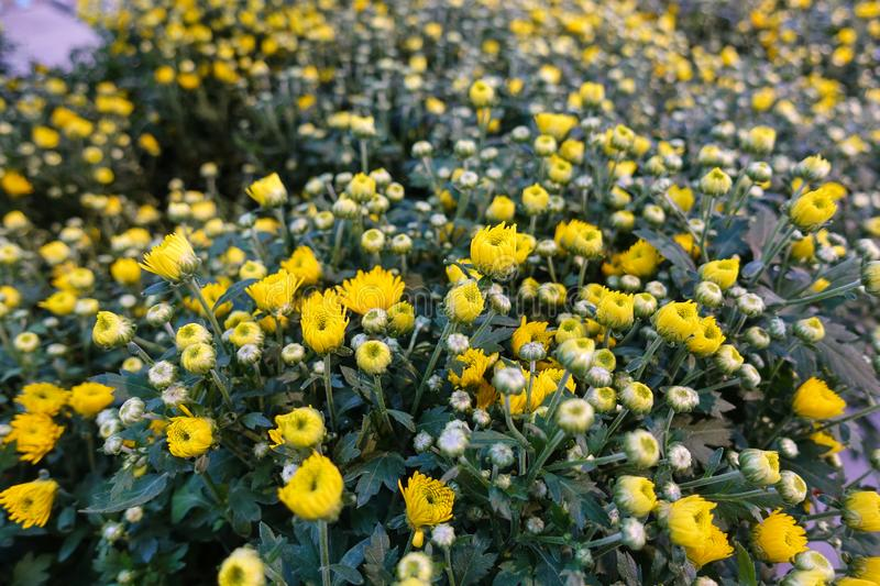 Many different flowers in the garden. Unopened yellow flower buds.  stock image