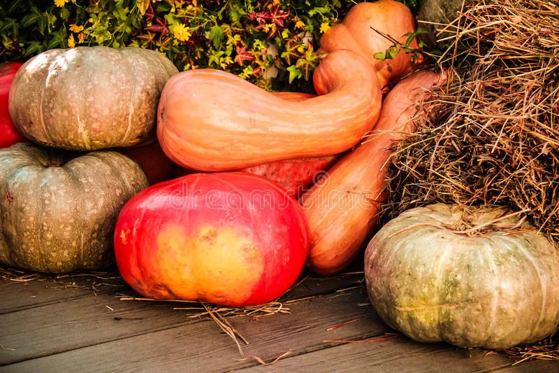 Many different orange pumpkins stock image