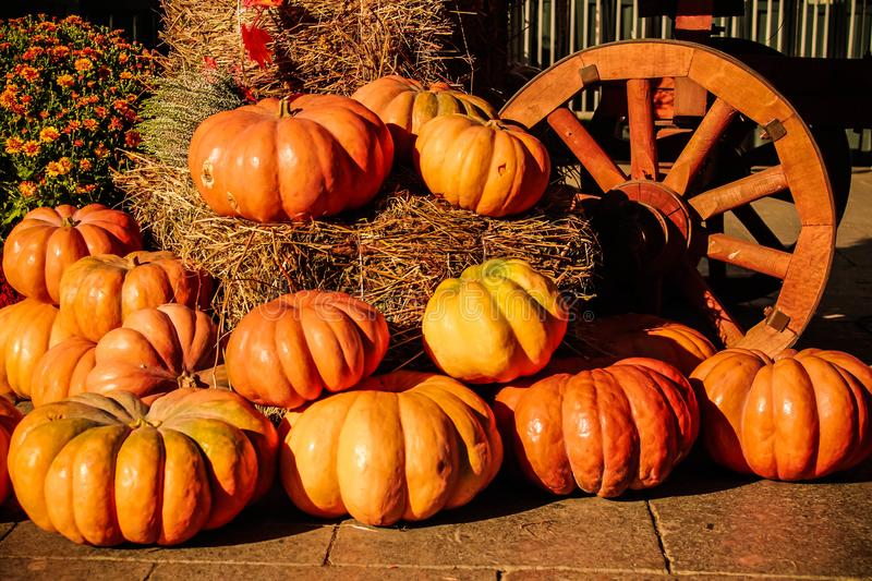Many different orange pumpkins on the ground in autumn day light. stock photo