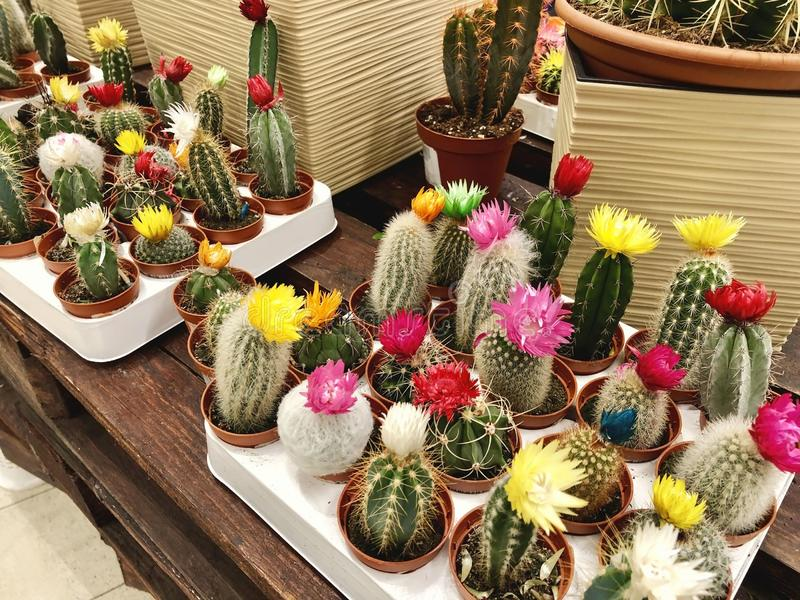 Many a different small multicolored cacti in flower pots as indoor plants. Many different small multicolored cacti in flower pots as indoor plants stock photography