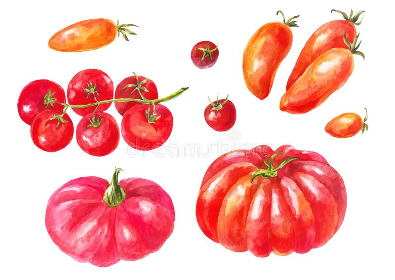 Many different tomatoes. Watercolor set. Yellow, red, green, large and small varieties. Different healthy vegetables. Isolated stock illustration