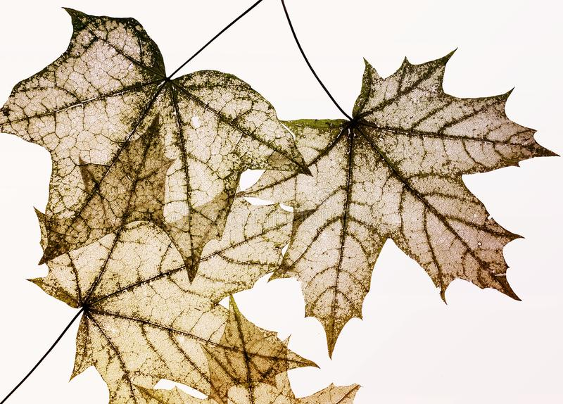 Many dilapidated openwork maple leaf delicate transparent templa. Dilapidated openwork maple leaf delicate transparent template shapes on a white isolated royalty free stock images