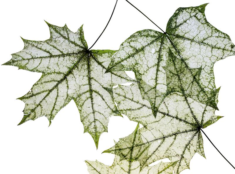 Many dilapidated openwork maple leaf delicate transparent templa. Te shapes on a white isolated background royalty free stock photography