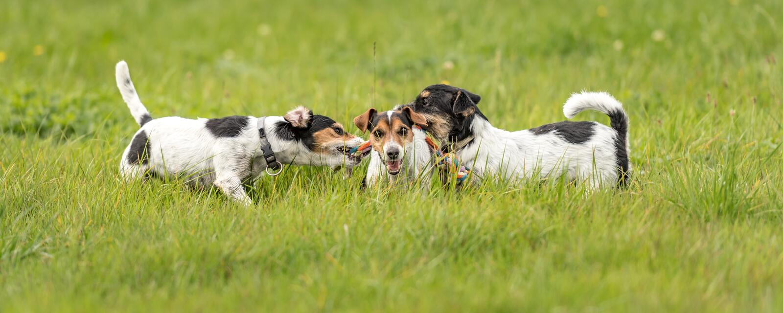 Many dogs run and play with a ball in a meadow - a cute pack of Jack Russell Terriers stock image