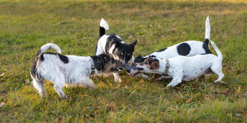 Many dogs run and play with a ball in a meadow - a cute pack of Jack Russell Terriers. Many cute dogs run and play with a ball in a meadow - a cute pack of Jack royalty free stock photo