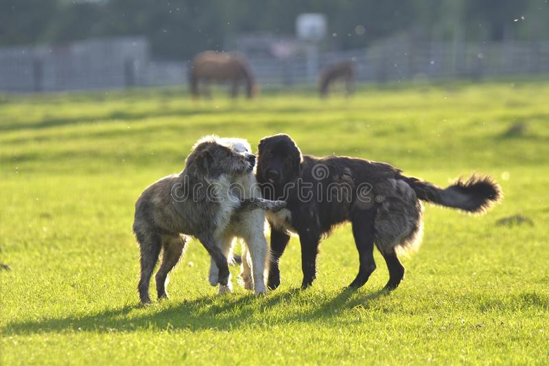 Many dogs run and play in a meadow.  stock images
