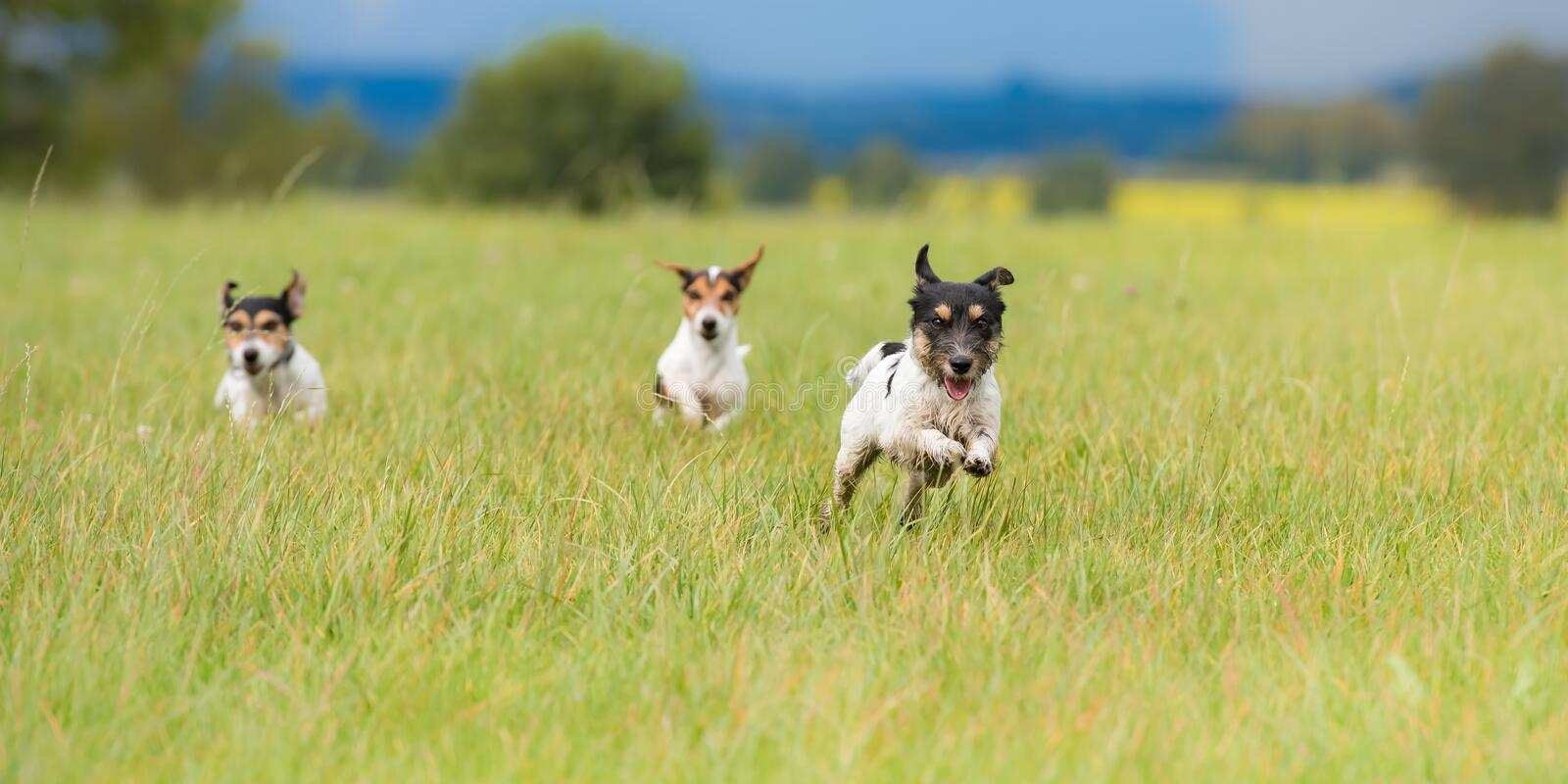 Many dogs running and playing fast in a meadow - a cute pack of Jack Russell Terriers royalty free stock images