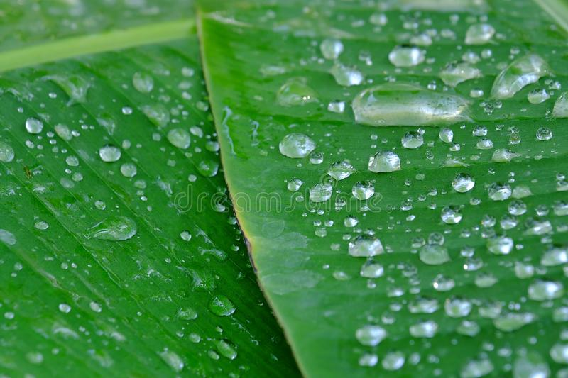Many droplets on banana leaves for background texture stock photography