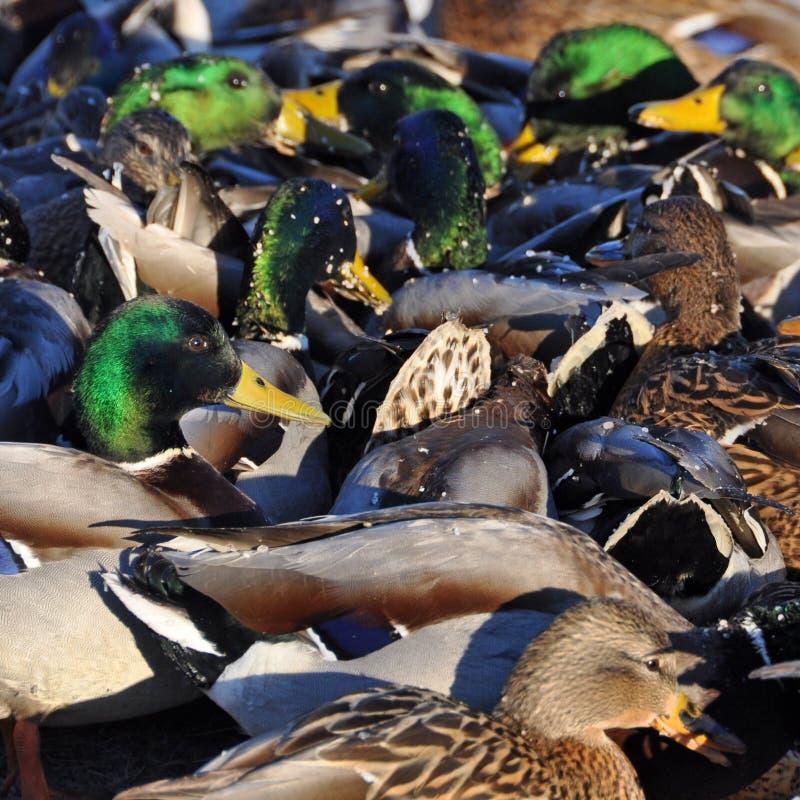 Mallard Duck Stock Image. Image Of Pretty, Feather, Nature