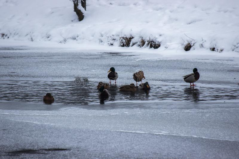 Many ducks are looking for food in the water in winter. frozen river, a time of famine for the animals. snow and ice around, frost stock photography