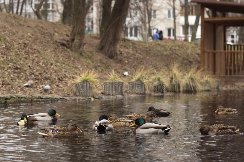 Many ducks swim in the lake in cloudy weather. Beautiful birds. Brown and green-gray ducks in the city among the houses, Vinnitsa.  stock photography