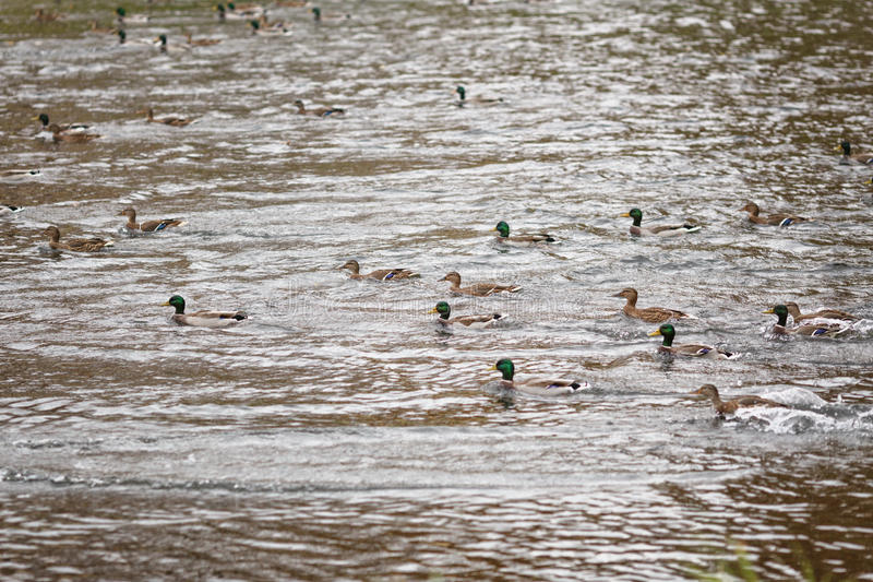 Many ducks swimming in lake or pond royalty free stock photos