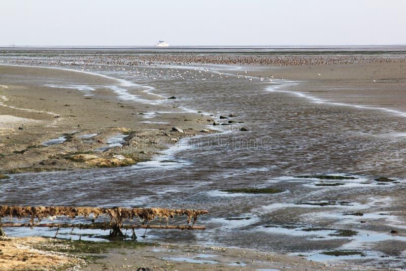 Many ducks in Waddenzee near dutch Ameland royalty free stock photography