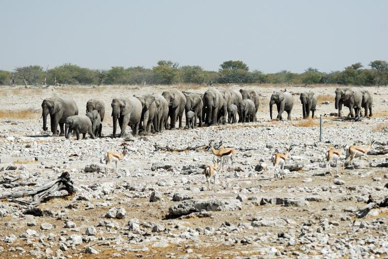 Many Elephants in the Etosha National Park, Namibia stock image
