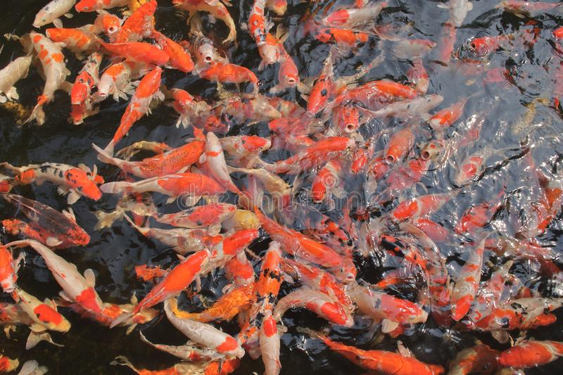 Many fancy carp fishes in the very clean and clear water stock photos