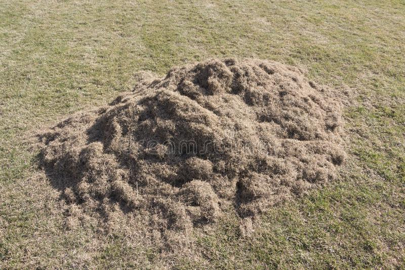 Many felts on green grass after aeration of the lawn. Close up royalty free stock photo