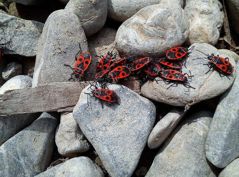 Many firebugs on rocks royalty free stock photos