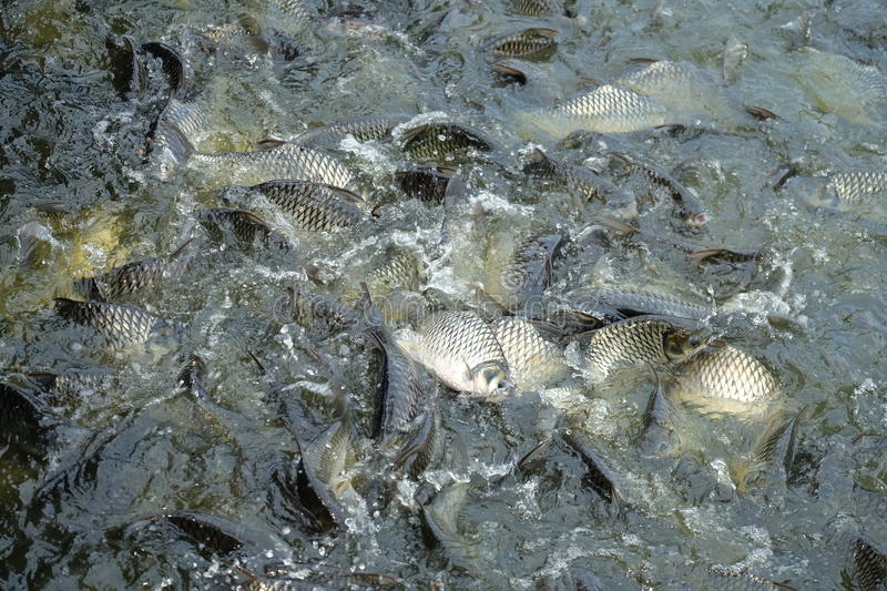 Many fishes are fight over for food ,feeding fish river in Thailand royalty free stock images
