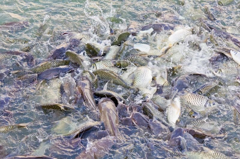 Many Fishes In The Pond Stock Photos