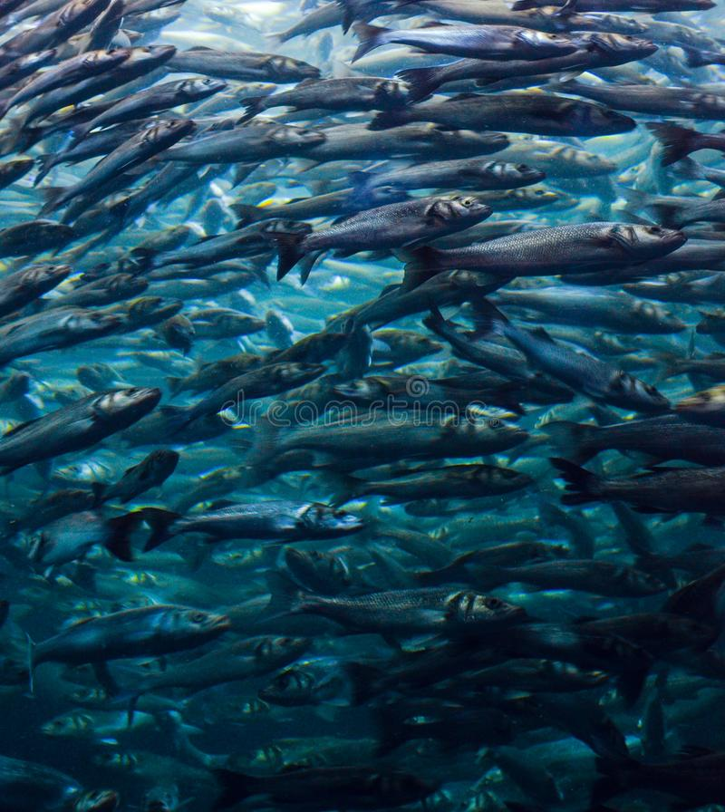 Shoal of fish. Many fishes swimming together in the water