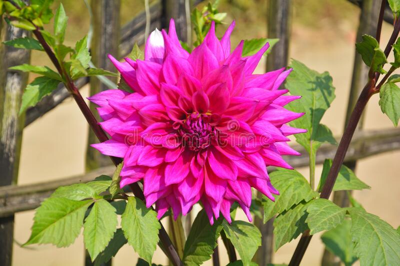 Many flowers of India like dahlia. Close up of beautiful pinkish Dahlia pinnata flower with green leaves growing in garden, selective focusing stock images