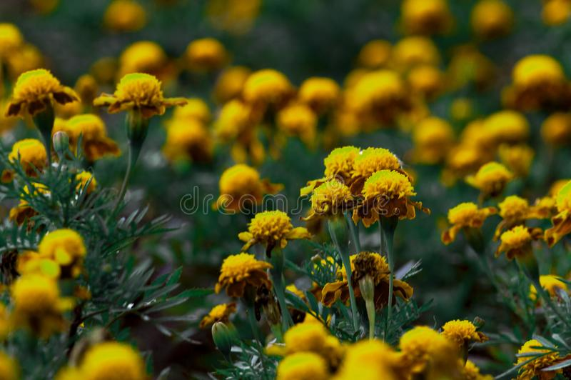 Many flowers of marigolds in the flowerbed. stock photo