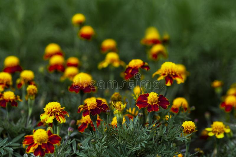 Many flowers of marigolds in the flowerbed. stock photography
