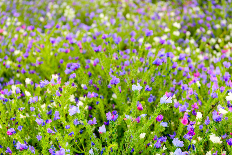 Many flowers in varied colors from close. Closeup of beautiful butterfly-like flowers on hairy plants and in very varied colors in a field of a specialized Dutch royalty free stock photo
