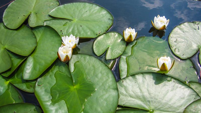 Many flowers of a white lily with green leaves of a water lily, stock photography