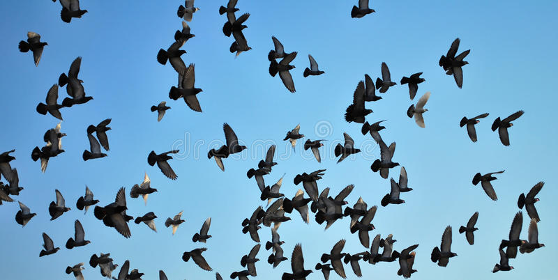 Download Many flying pigeons stock photo. Image of swarming, skies - 18593946