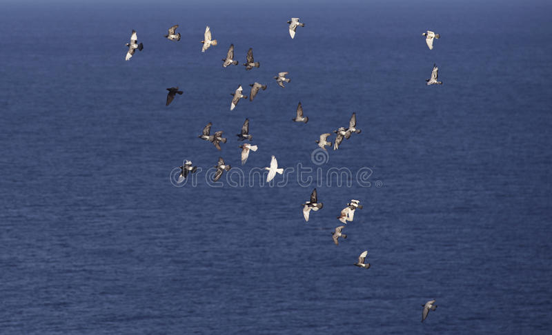 Many flying pigeons on a blue sea background stock photography