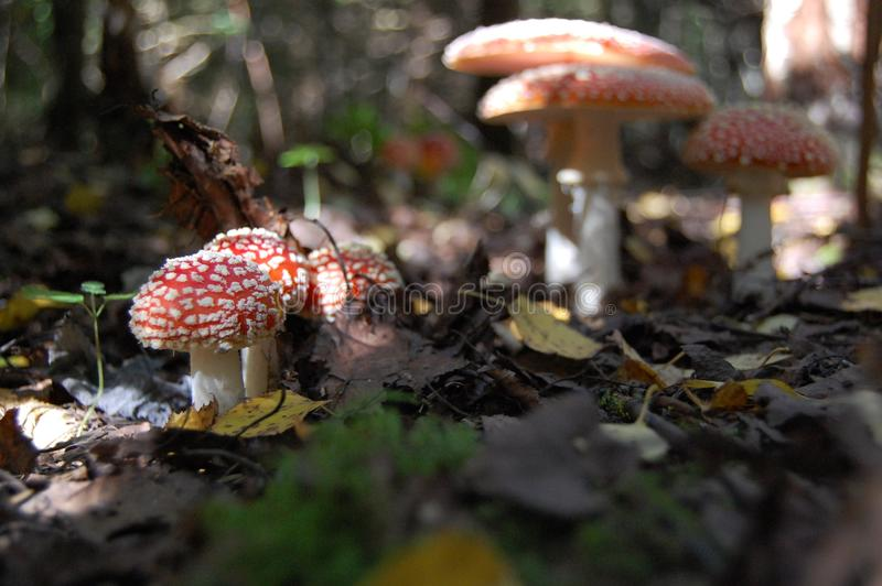 Many forest mushrooms of amanita with variegated caps royalty free stock photo