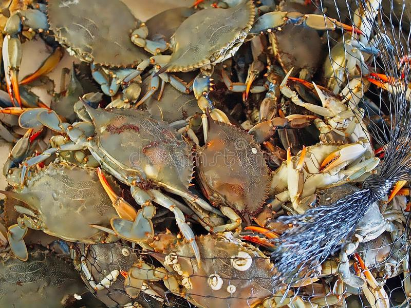 Macro of fresh crustaceans. Many fresh crustaceans at a fish market stock image