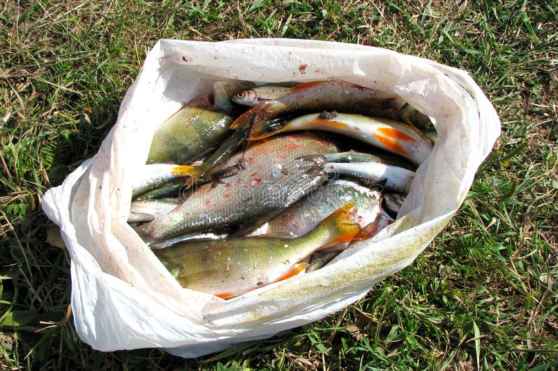 Many freshly caught river fish in a plastic bag are lying on the ground in the grass under the sunlight. Freshwater fish royalty free stock photography