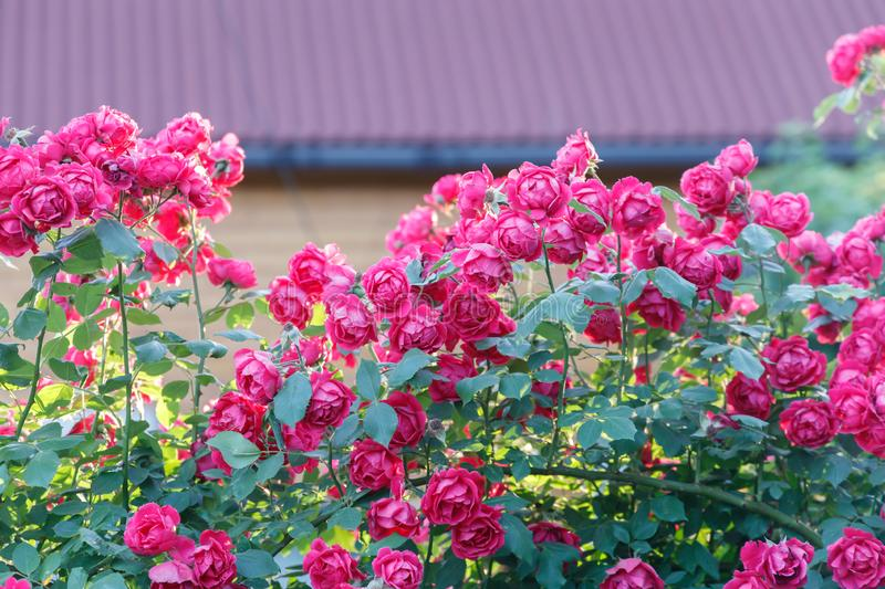 Many garden roses grow on the fence against the background of the wall of a country house stock image