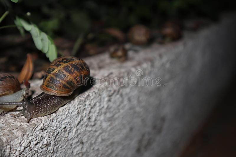 Many garden snails in the garden, at nigth. On concrete royalty free stock photo