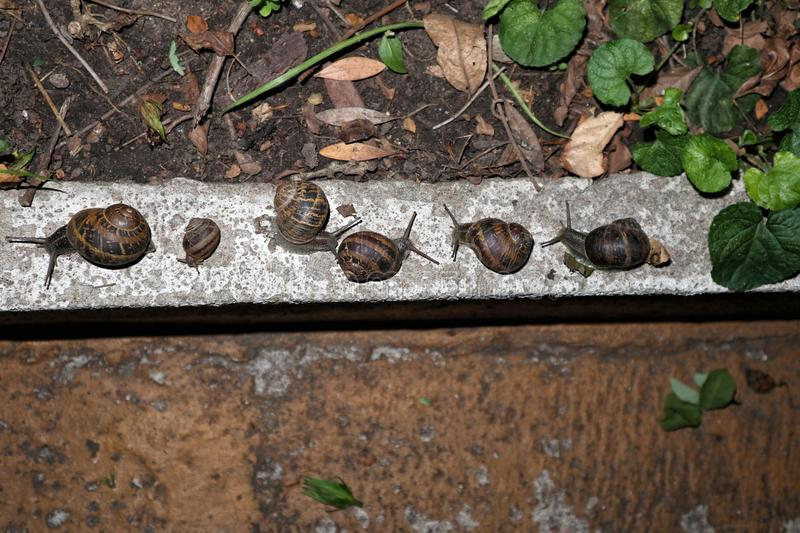 Many garden snails in the garden, at nigth. Many garden snails moving in the garden, at nigth, near plants stock image