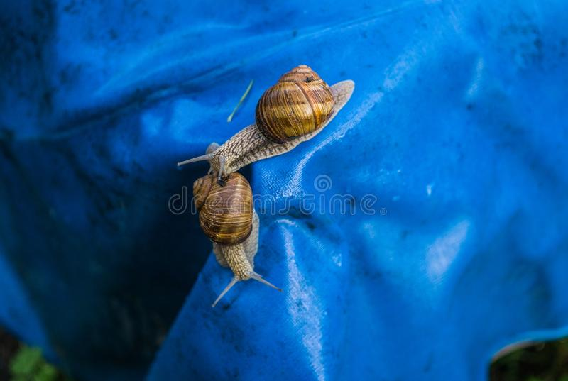 Many grape snails on a piece of blue awning in the garden.  stock photo